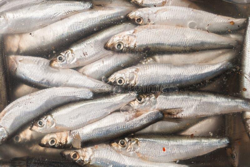 Små rimmade fiskansjovisar i marinad under räkningen royaltyfri fotografi