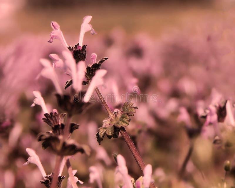 Små rosa färg- och lilablommor som täcker jordningen i landet royaltyfri foto