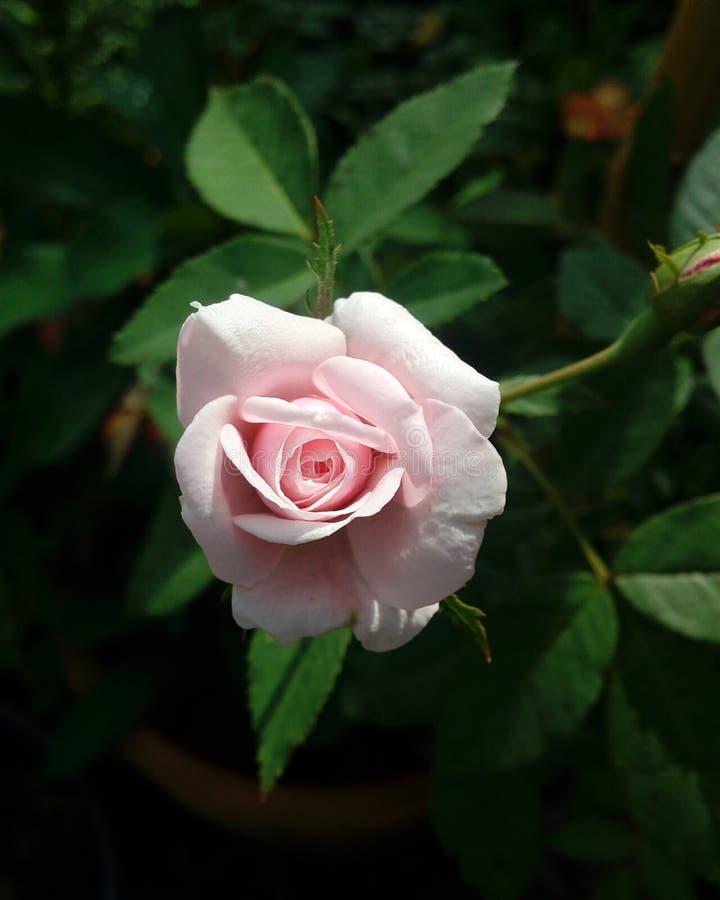 Små rosa färger steg som för att behandla som ett barn royaltyfri foto