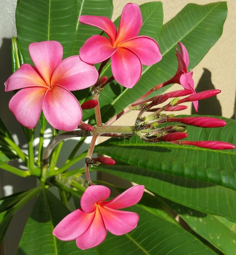 Små rosa frangipaniblommor arkivbild
