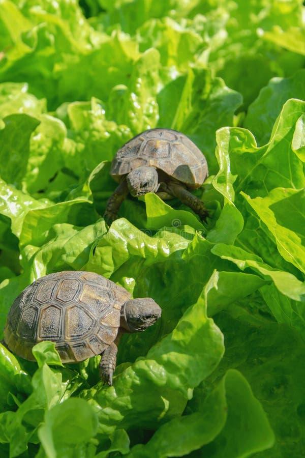 Små sköldpaddor på gröna sidor fotografering för bildbyråer