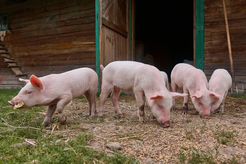 Små spädgrisar i jordbruks- bransch för organisk lantlig lantgård royaltyfria foton
