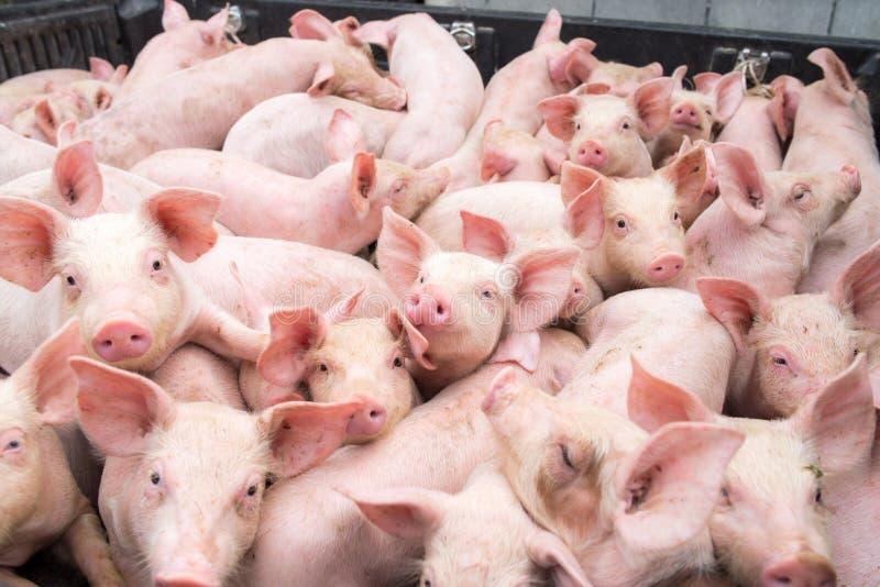 Små svin på lantgården arkivfoton
