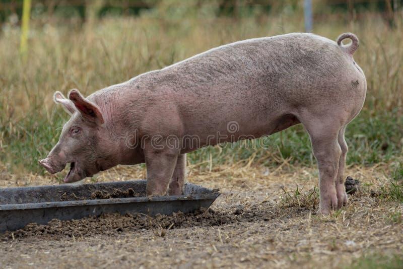 Små svin, ungt svin, spädgris som äter ut ur en metallho fotografering för bildbyråer