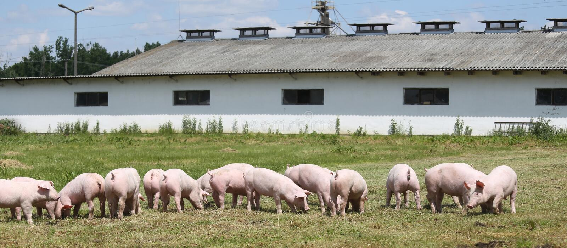 Små svinspädgrisar betar fritt på lantgårdsommartiden arkivbilder