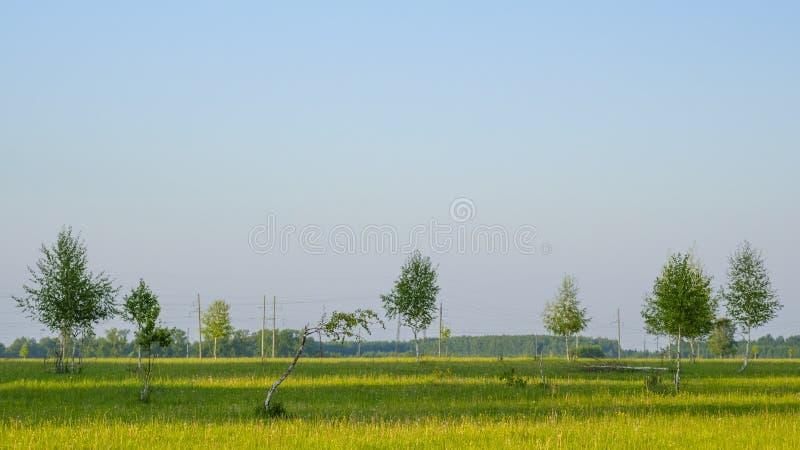 Små unga sällsynta björkar på ett stort fält Mot bakgrunden av skogen och kraftledningen swallowtail f?r sommar f?r fj?rilsdaggr? arkivbilder