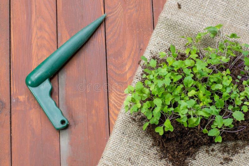 Små växter för plantor av kålrabbi med planterpinnen arkivfoton