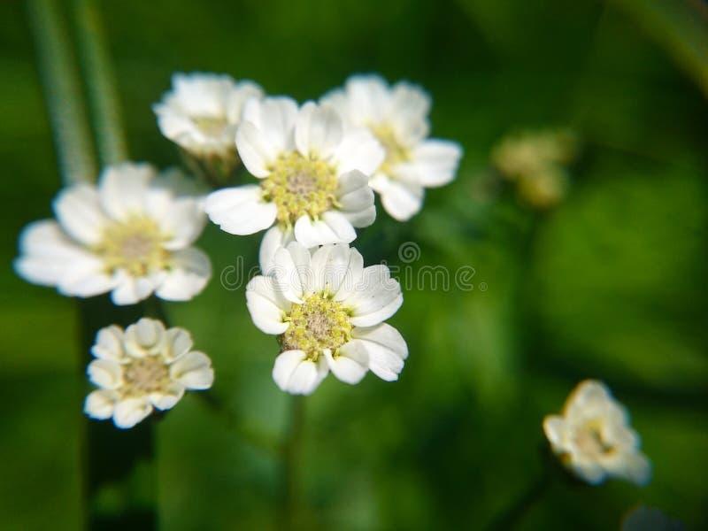 Små vita blommor för makrofoto royaltyfri bild