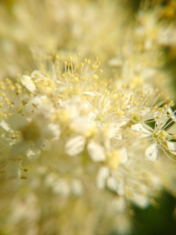 Små vita blommor för makrofoto för bakgrund royaltyfri bild