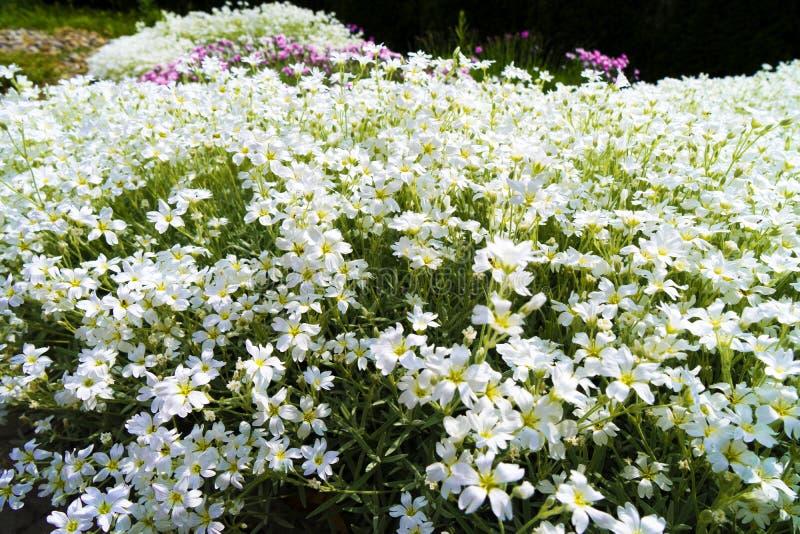 Små vita blommor kan inte räknas royaltyfria bilder