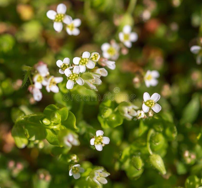 Små vita blommor på gräset i natur royaltyfri fotografi