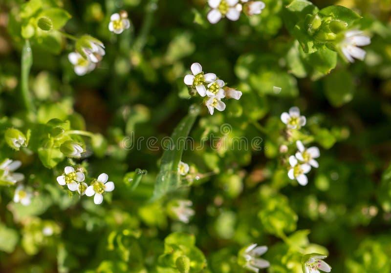 Små vita blommor på gräset i natur fotografering för bildbyråer