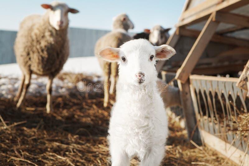 Små vita fluffiga lammfår bland vuxna människor En bilaga för klyva-traskade djur Fiskerin av fårköttet i lantligt royaltyfri foto