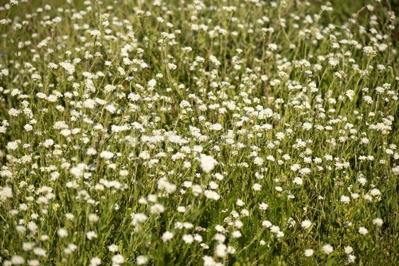Små vita lösa blommor royaltyfri foto