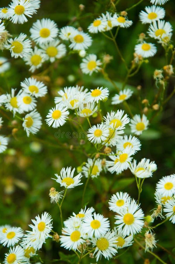 Små vita tusenskönor i grönt gräs arkivbilder
