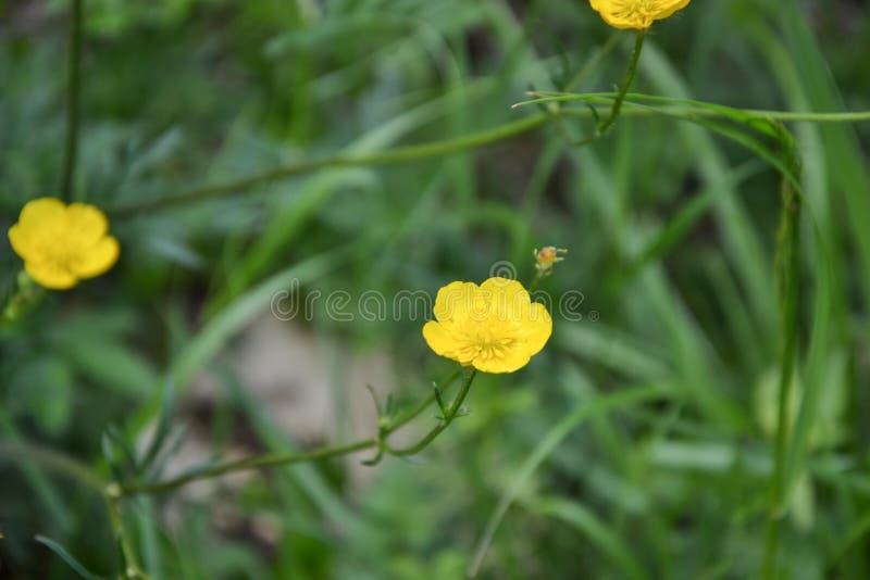 Smörblomma & x28; Ranunculusacris& x29; blommor i äng i vårtid arkivbilder