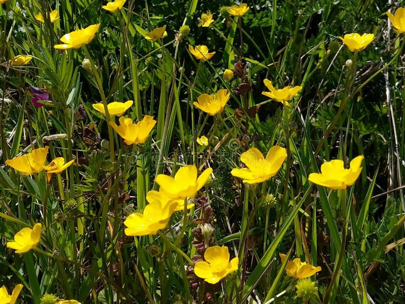Smörblommagoldilocks i ett fält arkivfoto