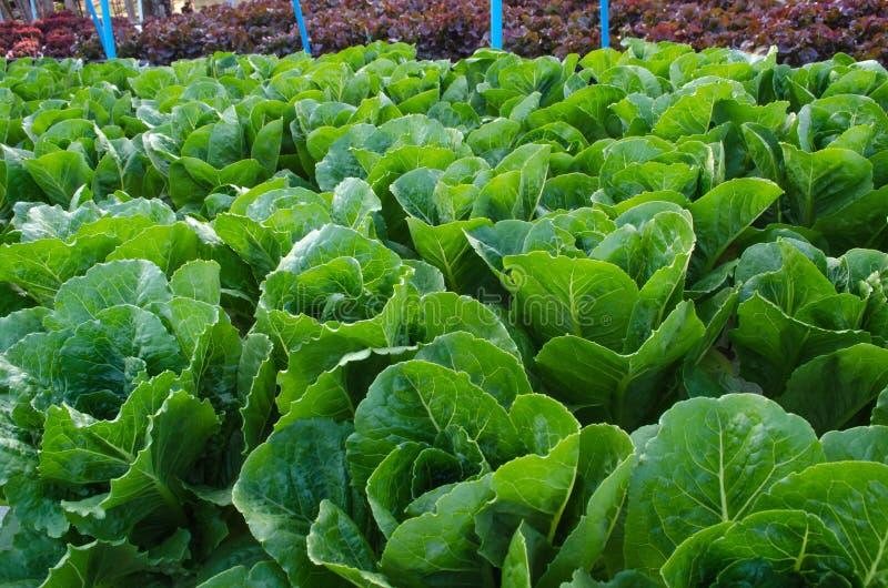 Download Smörgrönsallathuvud. fotografering för bildbyråer. Bild av leaves - 37348509