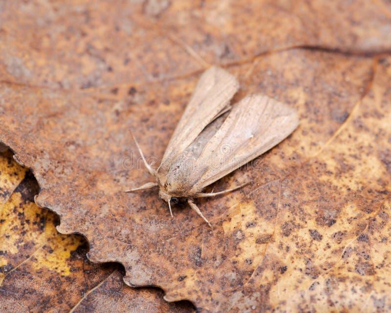 Smörj den malAglossa cuprinaen, den nattliga malen, krypet släkt fjärilsLepidoptera arkivfoton