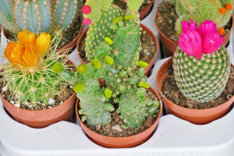 Sm? blommande kakturs av olika f?rger royaltyfri bild