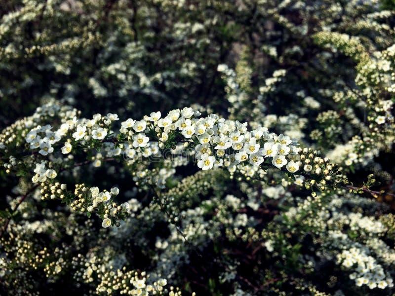 Sm? blommor p? en spireafilial arkivbilder