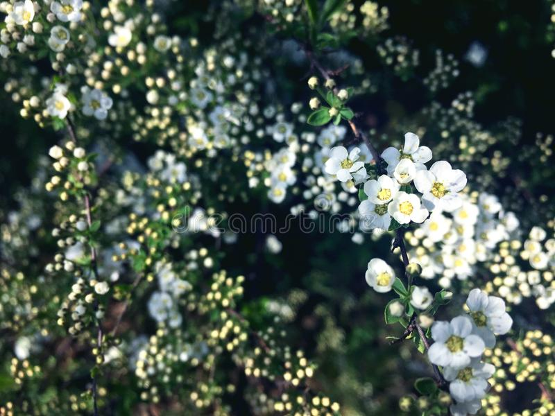 Sm? blommor p? en spireafilial royaltyfria foton