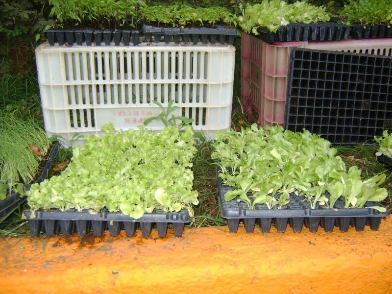 Sm? plantor av gr?nsakgr?sl?kar f?r att plantera fotografering för bildbyråer
