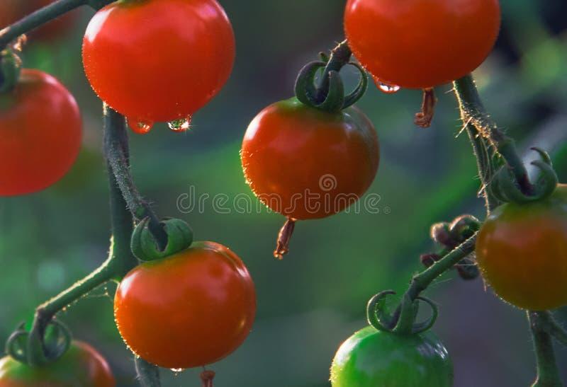 Smakelijk Cherry Tomatoes op Tak met Groene Bladeren royalty-vrije stock afbeeldingen