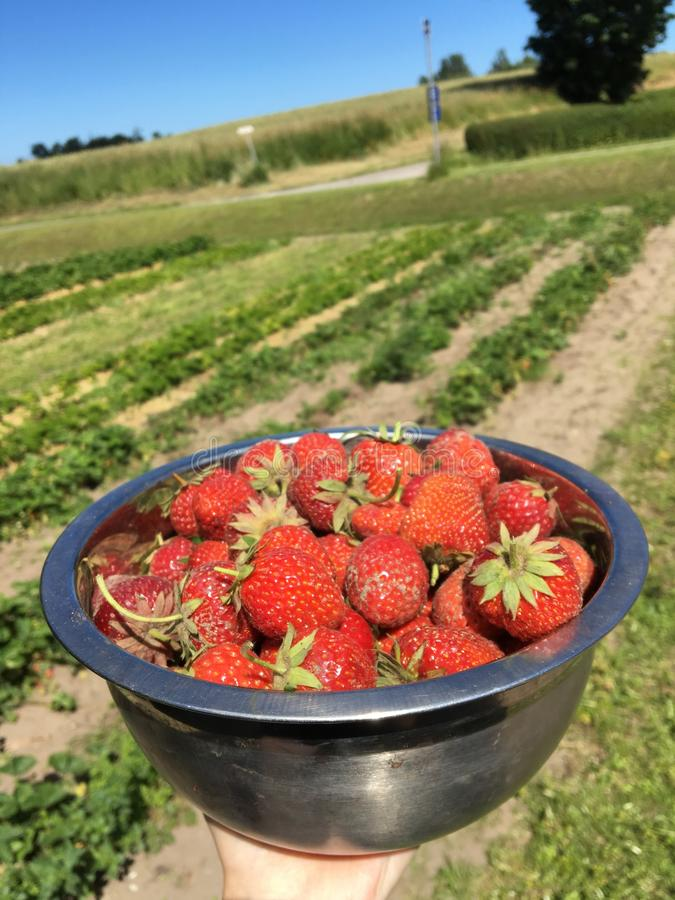 Smakelijke aardbeien op een Deens Eiland royalty-vrije stock foto's