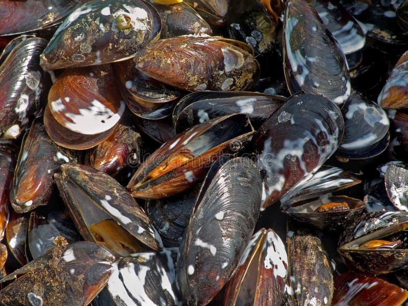 Smakelijke heerlijke gebraden gekookt die zeevruchtenmosselen in een ketel in openlucht worden gebraden stock afbeelding