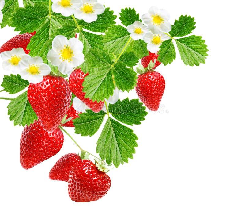 Smakelijke versheidsaardbeien Tuinbessen stock afbeelding