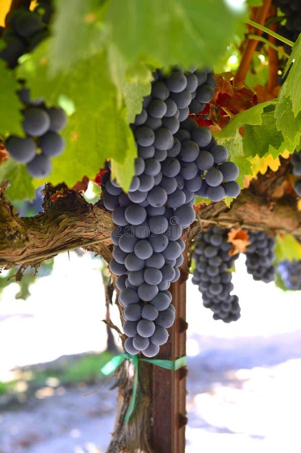 Smakelijke wijndruiven vóór oogst stock afbeeldingen