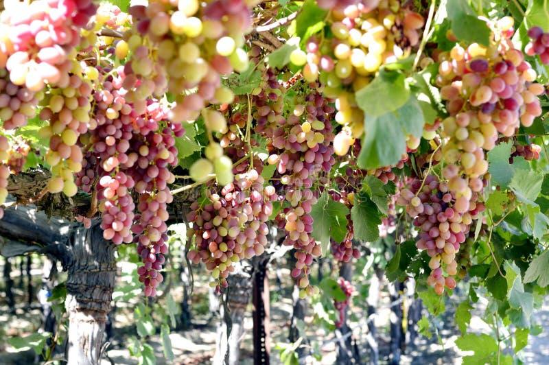 Smakelijke wijndruiven vóór oogst stock afbeelding