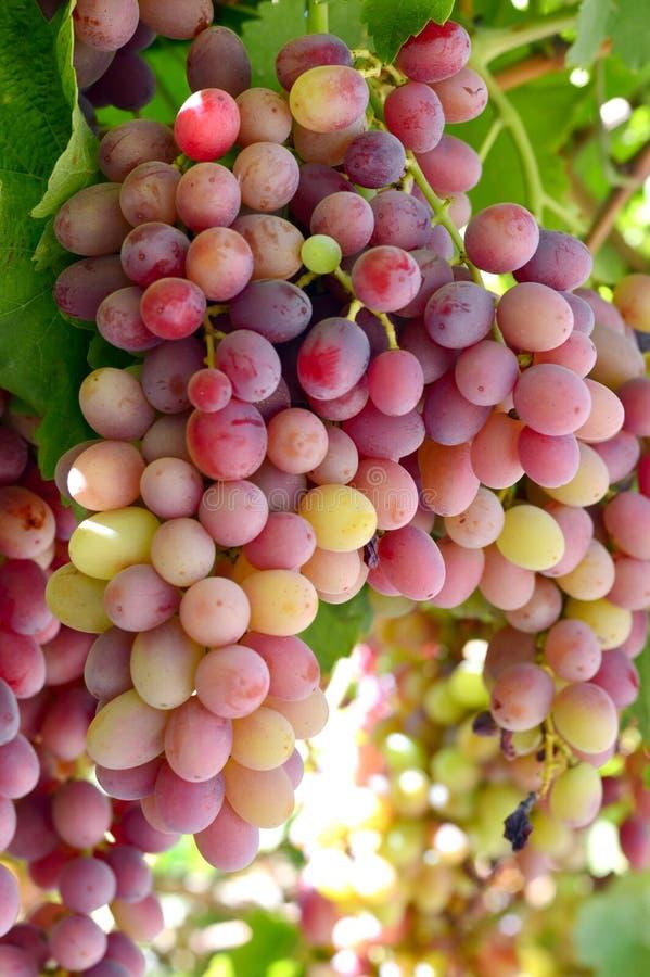 Smakelijke wijndruiven vóór oogst royalty-vrije stock foto's