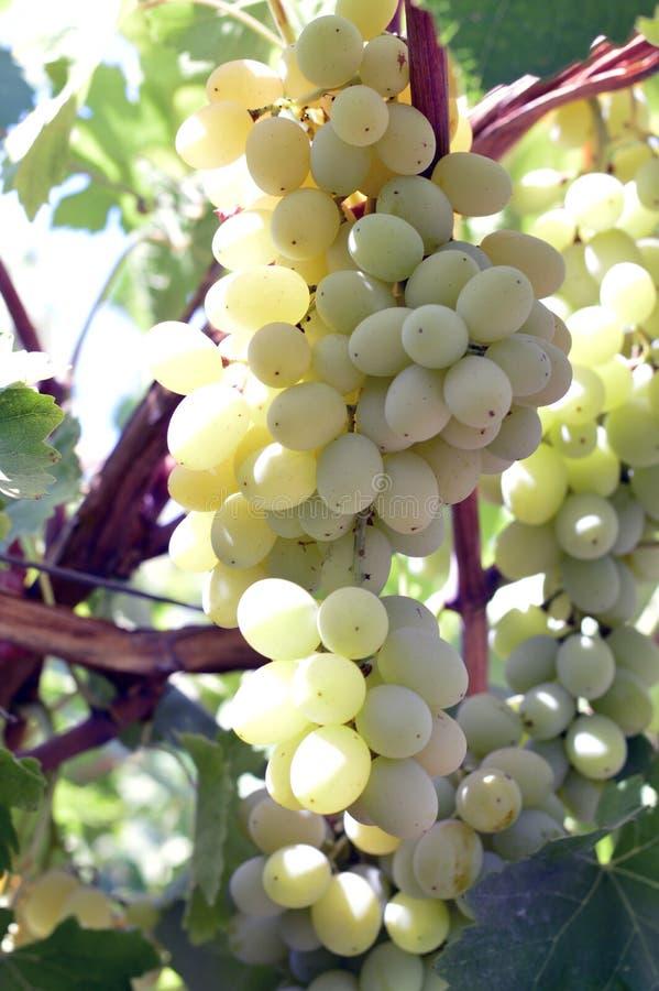 Smakelijke wijndruiven vóór oogst stock fotografie