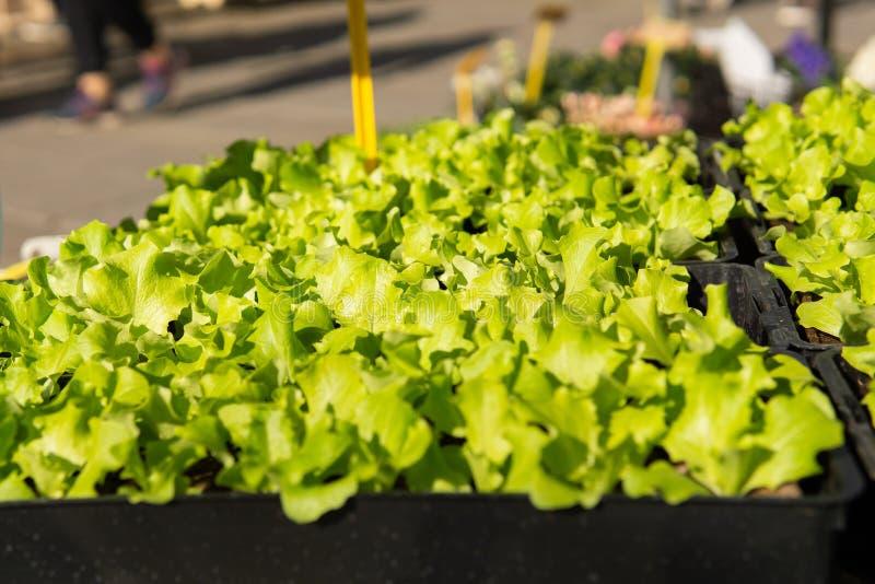 Smakliga unga gräsplaner som är till salu på marknaden för ny mat royaltyfria foton