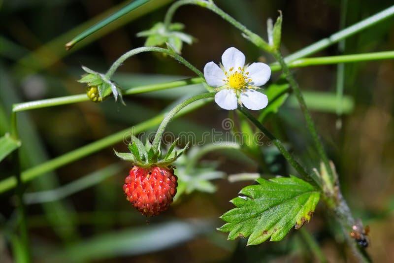 smakligt wild för jordgubbar arkivfoto