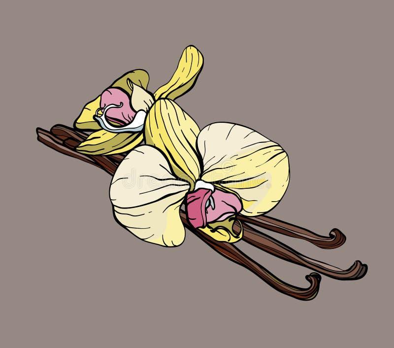 Smaksatta vaniljfröskidor och blommor också vektor för coreldrawillustration royaltyfri illustrationer