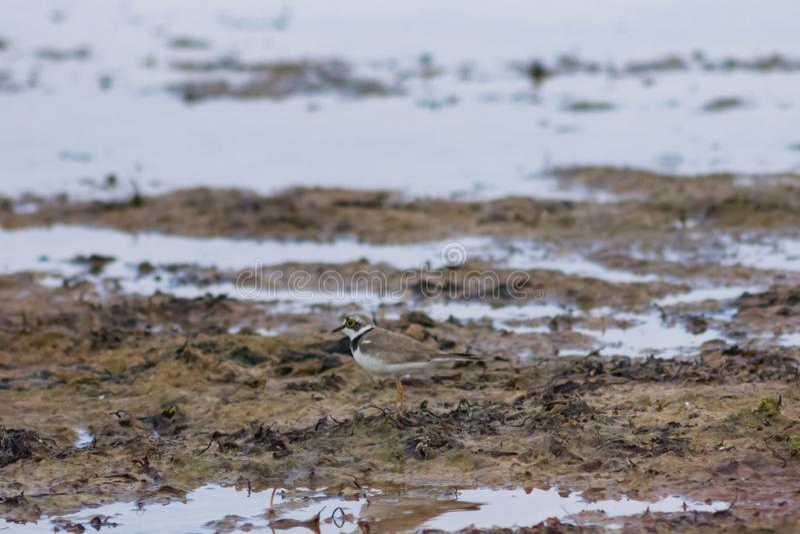 Smal水鸟小的圈状的珩科鸟或charadrius dubius特写镜头画象在海海岸线,选择聚焦浅DOF 库存图片
