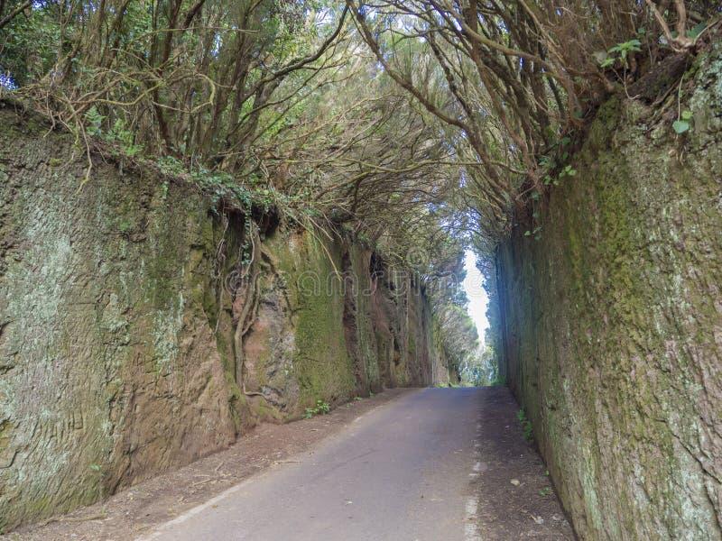 Smal asfaltväg som går till och med primär lagerskog för gåta royaltyfri foto