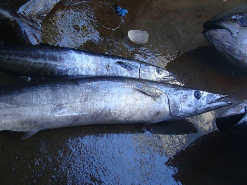 Smal-versperde Spaanse die makreel vers door artisanale Filipijnse vissers wordt gevangen stock fotografie
