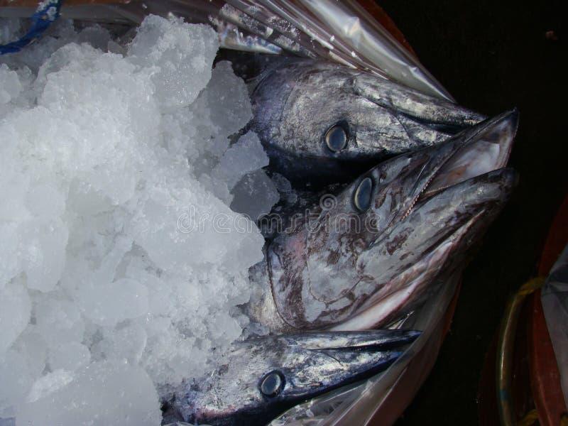 Smal-versperde Spaanse die makreel vers door artisanale Filipijnse vissers wordt gevangen royalty-vrije stock foto