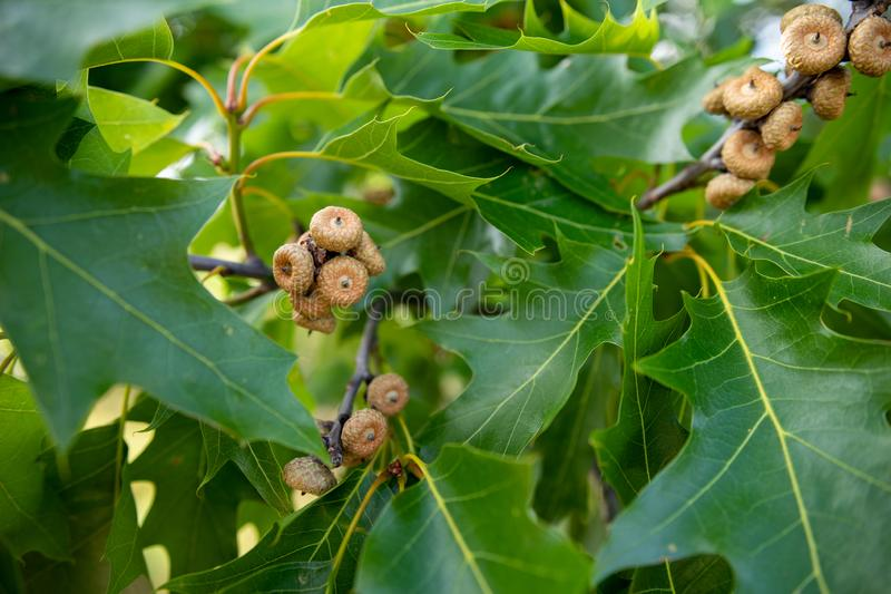 Small acorns of red oak. Leaves and fruits of the oak royalty free stock image
