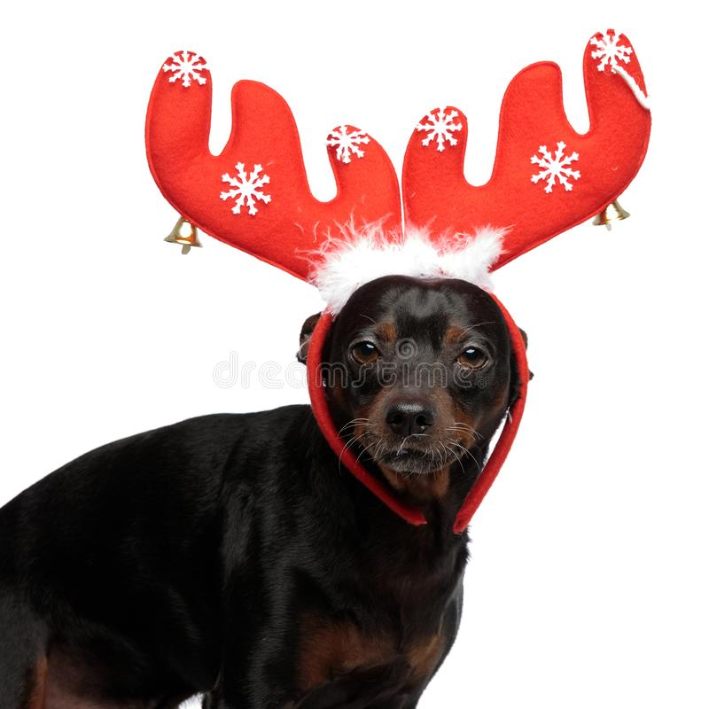 Small adorable dog wearing raindeer horns on his head. Standing while looking straight forward at the camera, on a light background royalty free stock photography