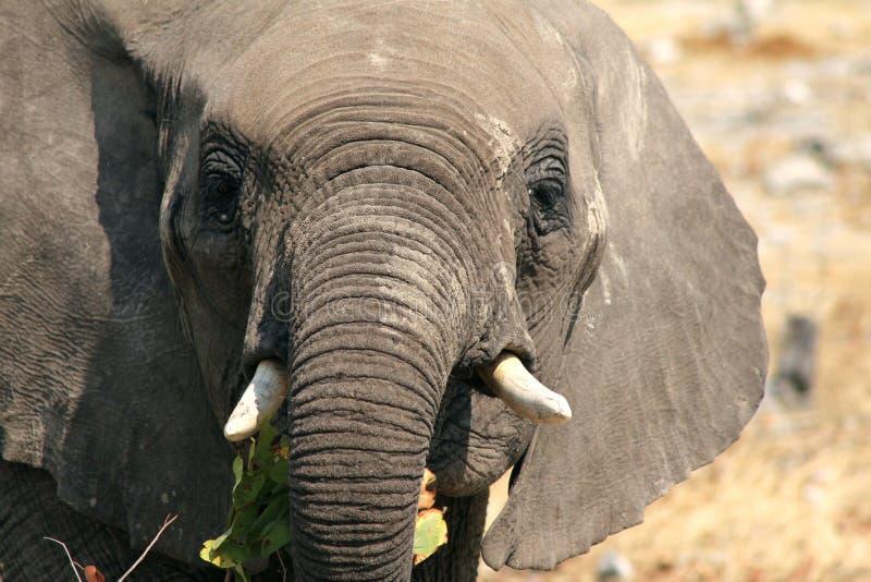 Small African Elephant Portrait stock photos