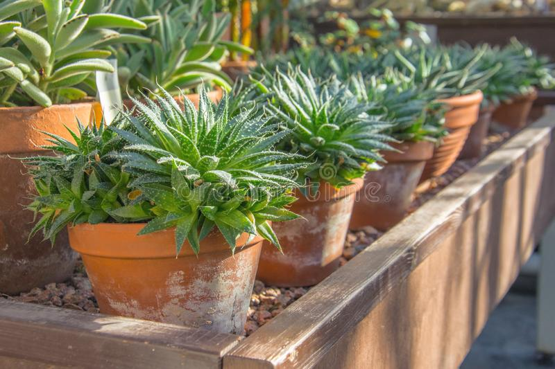 Small agave bushes in pots in a greenhouse.  royalty free stock image