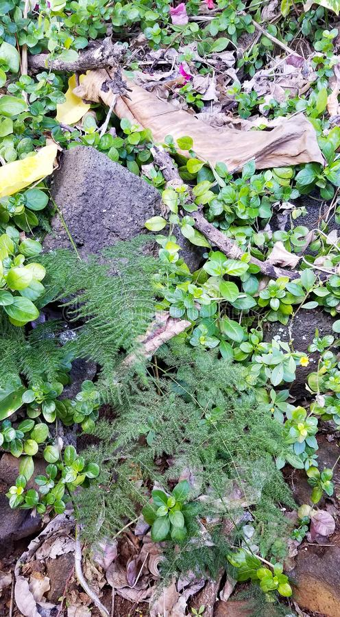 Small Airy Ferns Surrounded by Leafy Green Plants, Dried Leaves, and Lava Rocks. Big Island, Kailua-Kona, Hawaii royalty free stock photography
