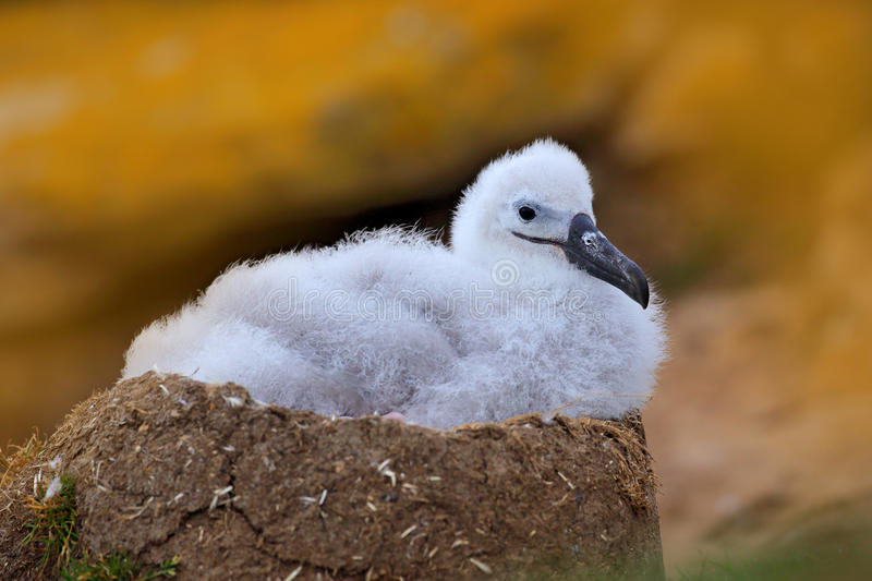 Small albatross in nest. Cute baby of Black-browed albatross, Thalassarche melanophris, sitting on clay nest on the Falkland Islan royalty free stock image