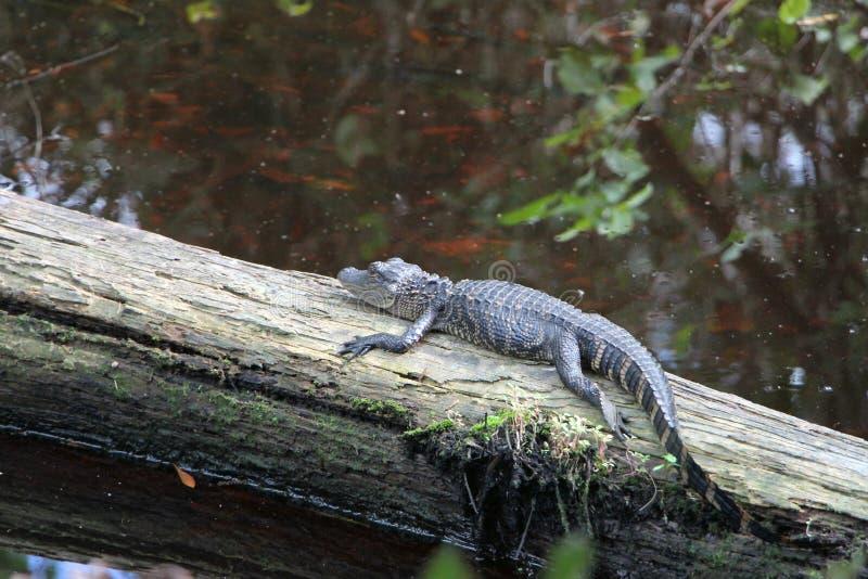 Small Alligator stock photo