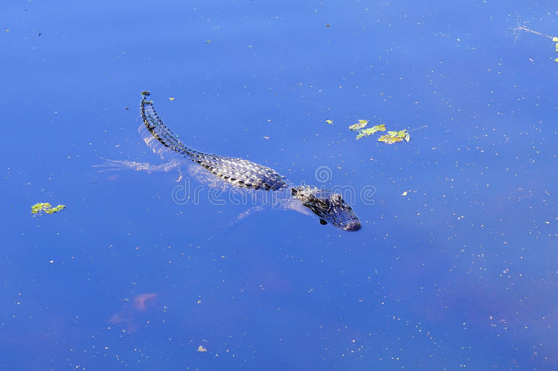 Small alligator. A small alligator is swimming stock photography